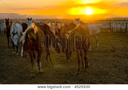 Horses And Cattle At Sunset