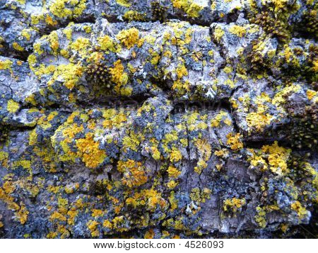 Macro image yellow lichen on tree bark. poster