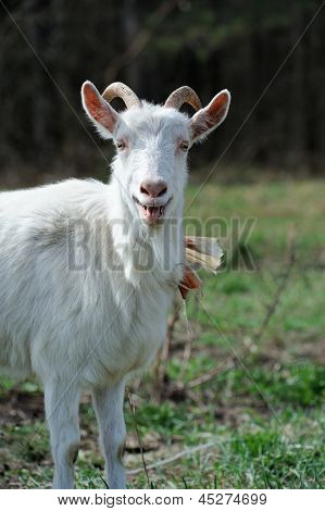 Bleating Goat