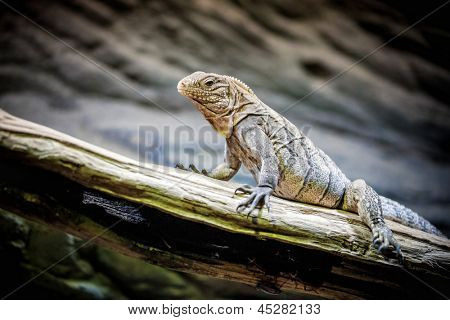 little Rhinoceros Iguana (Cyclura cornuta) on the wooden branch