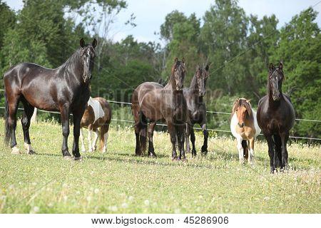 Batch Of Black Horses On Pasturage