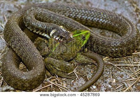Snake eats frog