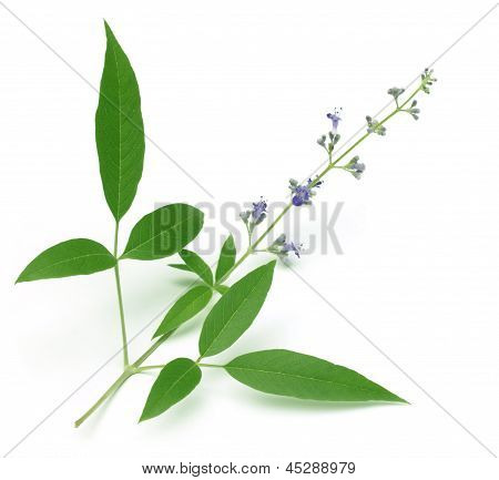 Vitex Negundo or Medicinal Nishinda leaves with flowers