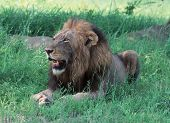 Young lion in the grass Kruger park sunny day poster