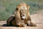 Portrait lion in Kruger national park South Africa poster