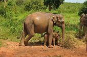 Asian elephant mother and baby, Sri Lanka poster