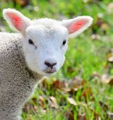 A newborn baby spring lamb looking at the camera curiously poster