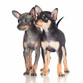 two russian toy terrier dog puppies on white poster