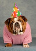 adorable English bulldog with pink shirt and birthday hat on blue background poster