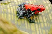 tropical pet frog, ranitomeya amazonica. Red poison dart frog from Amazon rain forest in Peru. These exotic amphibian are kept in a terrarium, they are poisonous animals with beautiful bright colours poster