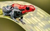 red poison arrow frog, beautiful macro of a tropical animal living in the Amazon rainforest of Peru. A poisonous amphibian often kept as an exotic pet in a rain forest terrarium. poster