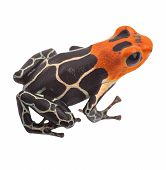 Poison arrow frog isolated. Tropical small exotic amphibian from Amazon jungle in Peru kept as pet animal in a jungle terrarium. Macro of beautiful cute poisonous amphibian ranitomeya fantastica poster