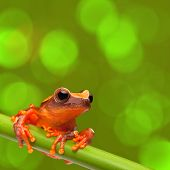 red tree frog climbing in tropical Amazon rain forest. Small amphibian with big eyes, Dendropsophus leucophyllatus from exotic jungle of Peru, brazil. Beautiful macro of small cute rainforest animal poster
