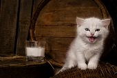White hungry pussy cat with milk on wooden  background poster