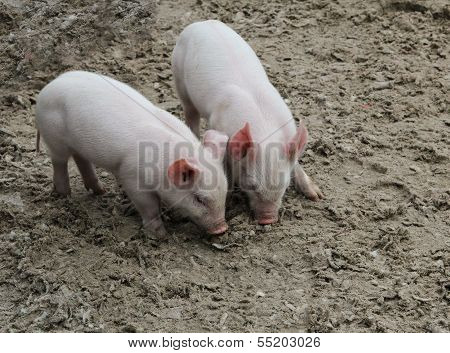 Two baby pigs