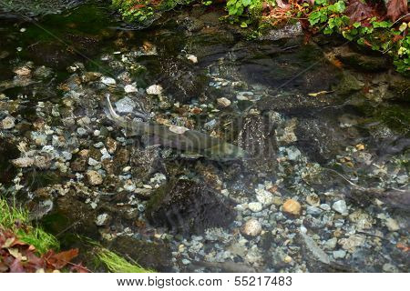 Spawning Salmon in a Shallow Pool