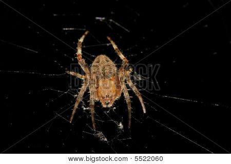 An orb weaver spider in a defensive crouch on it's web over black poster