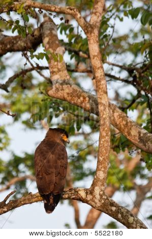 Crested serpent eagle in Bandipur National Park India. poster