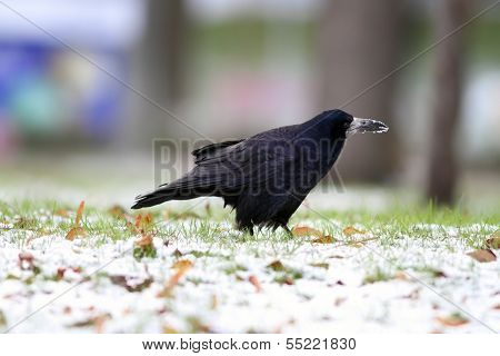 Crow Foraging For Food In The Park