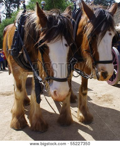 Clydesdale Horses in Harness