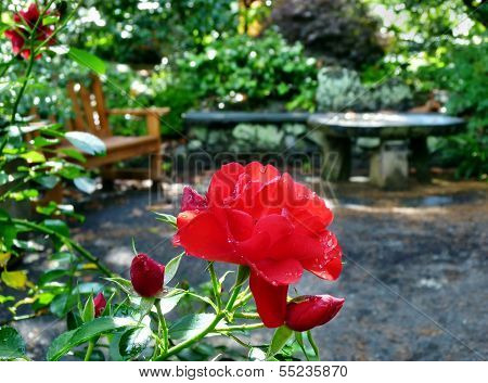 Red Rose With Water Drops In A Garden