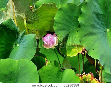 Pink Water Lily Blossom In Front Of Large Green Leaves
