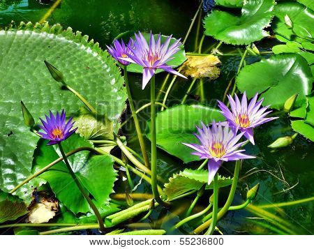 Water Lilies With Lily Pads