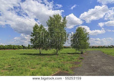 Three Birch Trees At The Tempelhofer Feld, Berlin Germany