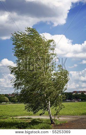 Birch Tree At The Tempelhofer Feld, Berlin Germany