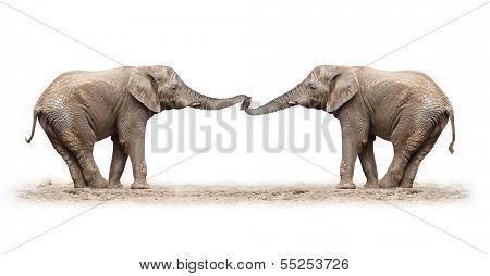 African elephants (Loxodonta africana) playing on a white background.