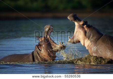 Zwei kämpfende Flusspferde; Hippopotamus Amphibius; Südafrika