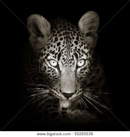 Leopard face close-up in black and white - Panthera pardus