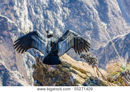 Condor At Colca Canyon  Sitting,peru,south America. This Is A Condor The Biggest Flying Bird On Eart