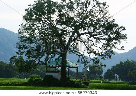 Children At Temple Under Large Tree On Rice Field