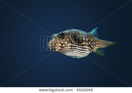 Stars And Stripes Puffer (arothron Hispidus)