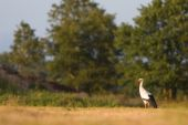 White stork standing in a grassland in spring poster
