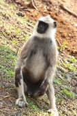Common langur relaxing in Bandipur National Park India. poster