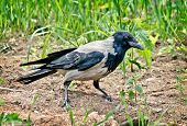 Hooded crow. Proud Bird bypasses the possession. poster