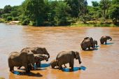Elephant family crossing the brown river with trees poster