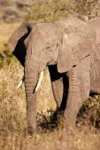 Elephant walking in the bush of africa poster