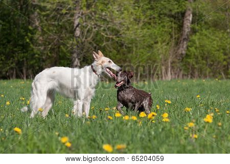Russian Wolfhound And German Shorthaired Pointer
