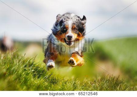 Running Purebred Dog