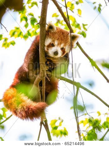 Red Panda  or Lesser Panda hanging on a branch high in a tree
