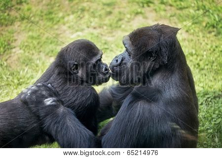 mother gorilla kissing her baby