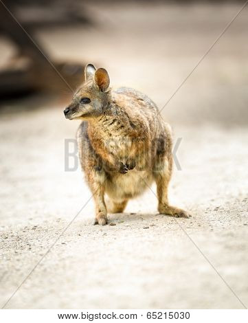 Beautiful Kangaroo,  tammar wallaby or Macropus eugenii