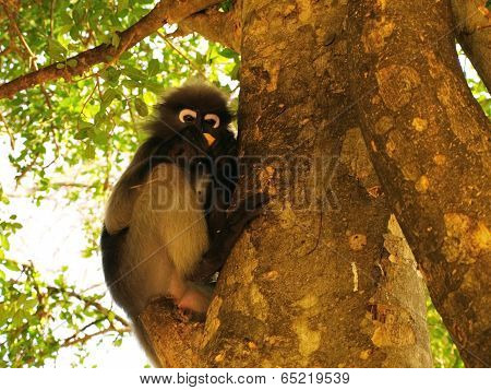 Spectacled Langur (trachypithecus Obscurus) On A Tree