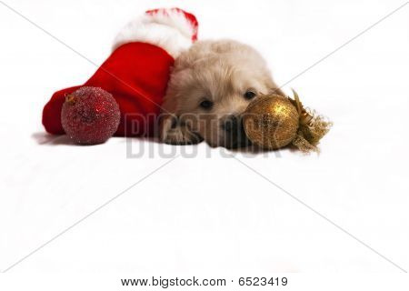 poster of Studio shot of golden retriever baby with christmas toys an red santa's sock