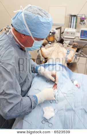 Veterniarian performing neuter operation on large dog poster