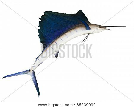 Sailfish  isolated white