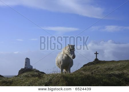 wild pony on Llandwyn island isle of anglesey poster
